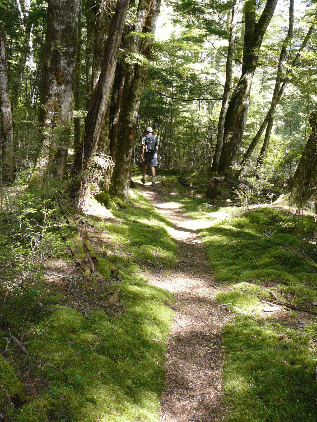 Magical Fiordland beech forest
