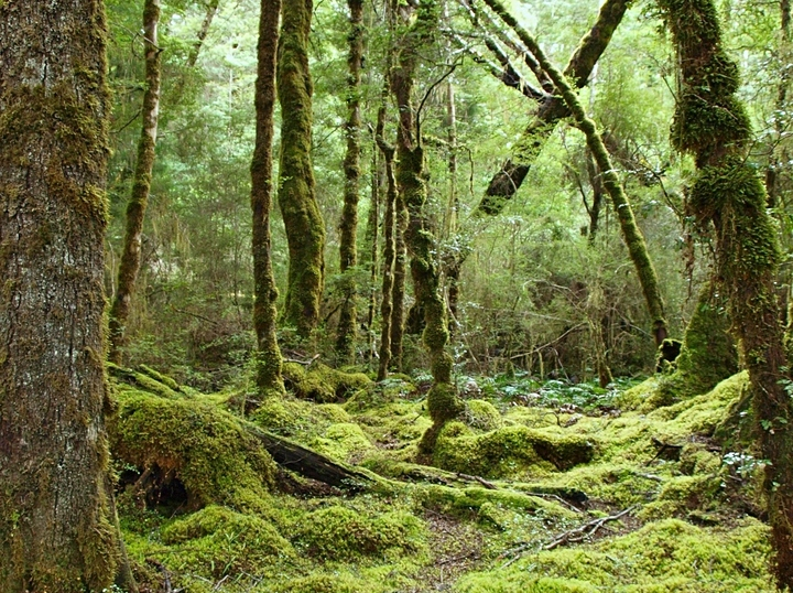 Amazing forest along the Kepler Track