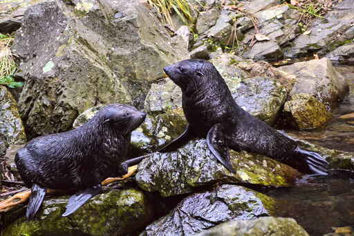 Seal pups frolicking at Ohau Stream