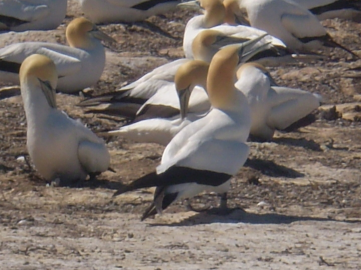 Book your Gannet Beach Adventure or Gannet Safari with us
