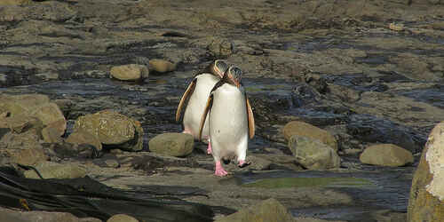 Yellow eyed penguins waddling through the petrified forest