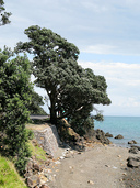 A Pohutakawa tree hangs precariously to the side of the road