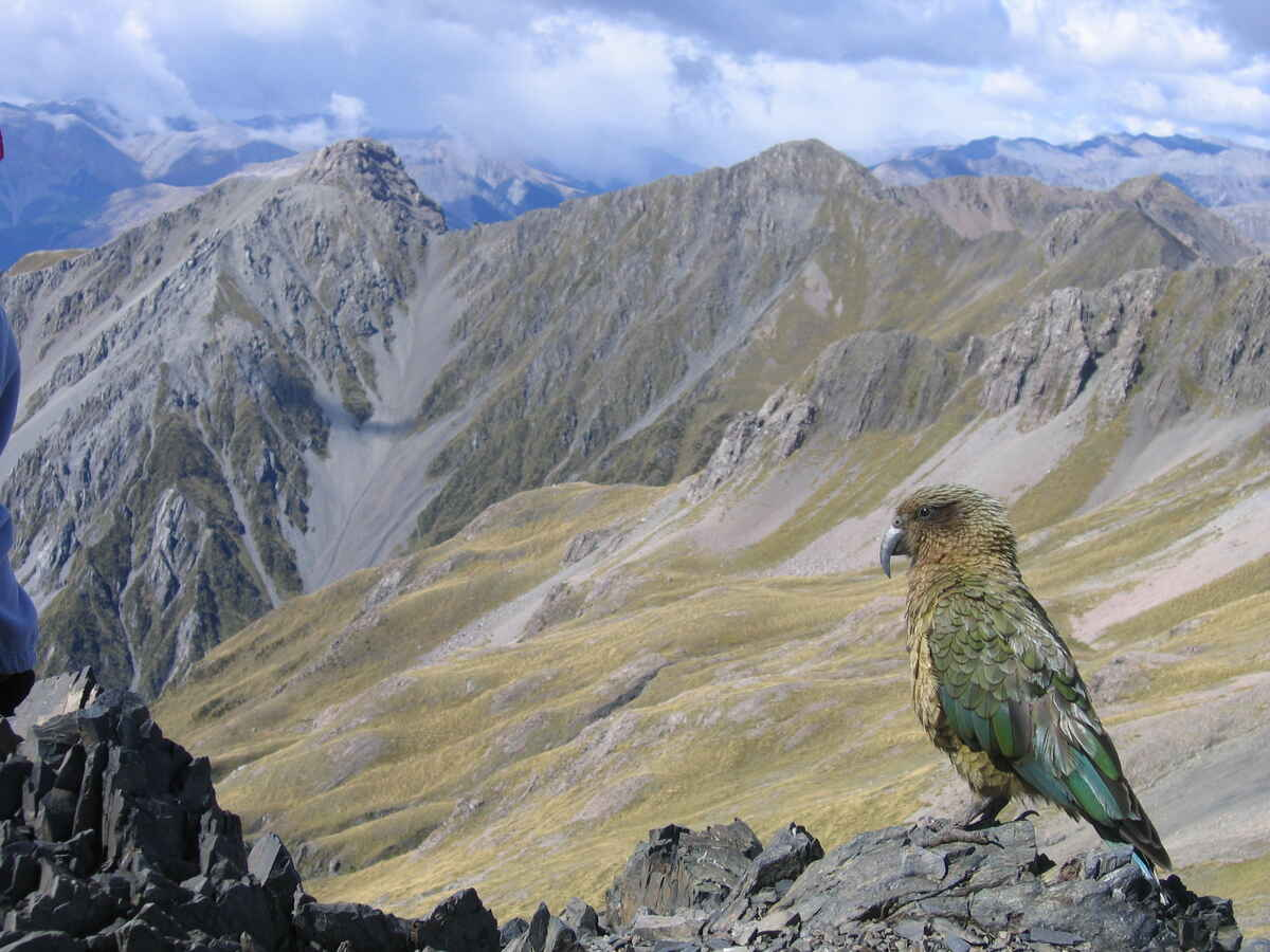Kea on Avalanche Peak - Photo: Timothy Ensom