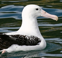 Northern Royal Albatross - An endangered species