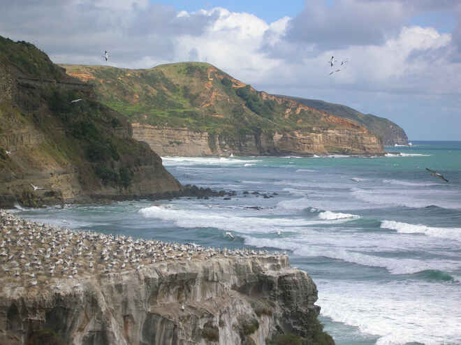 Gannets nesting on cliffs above Maori Bay, Muriwai