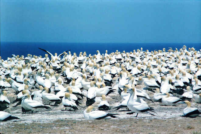 The Gannet Colony at Cape Kidnappers