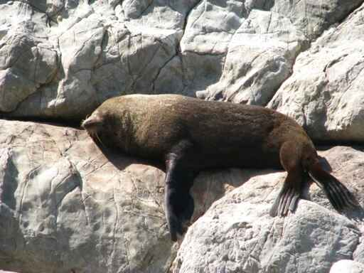 Sunbathing seal at Ohau Point