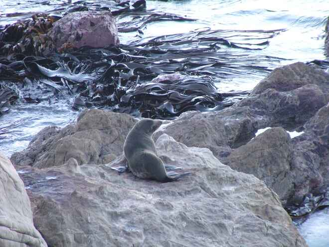 Solo seal at Ohau Point
