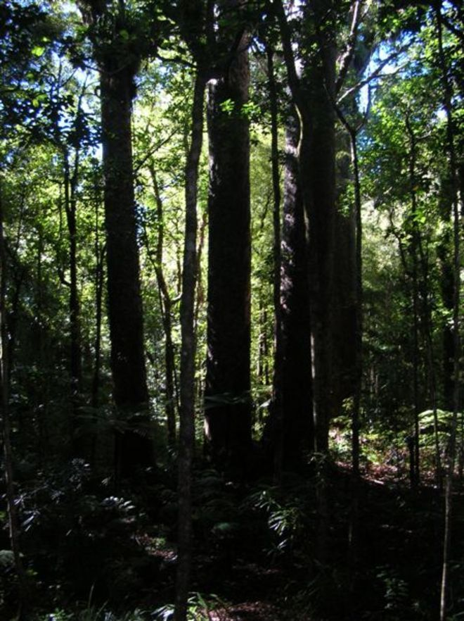 The Four Sisters - Trounson Kauri Park