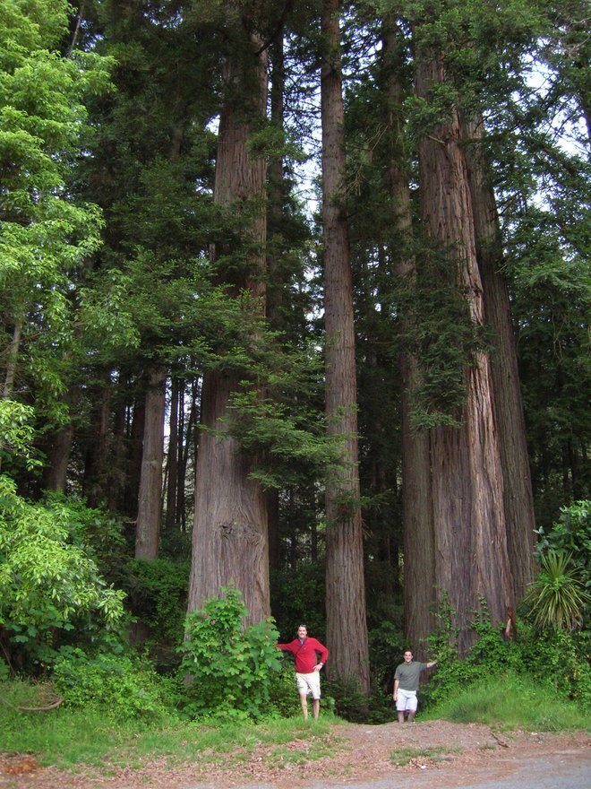 Some pretty big redwoods...